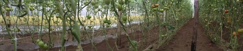 plasa-sere-tomate