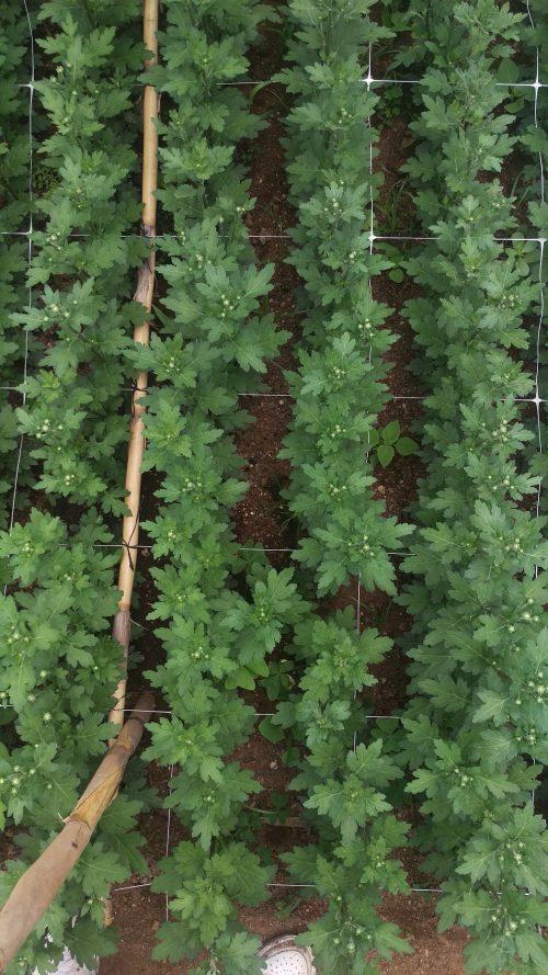 Plasa pentru suport plante sere